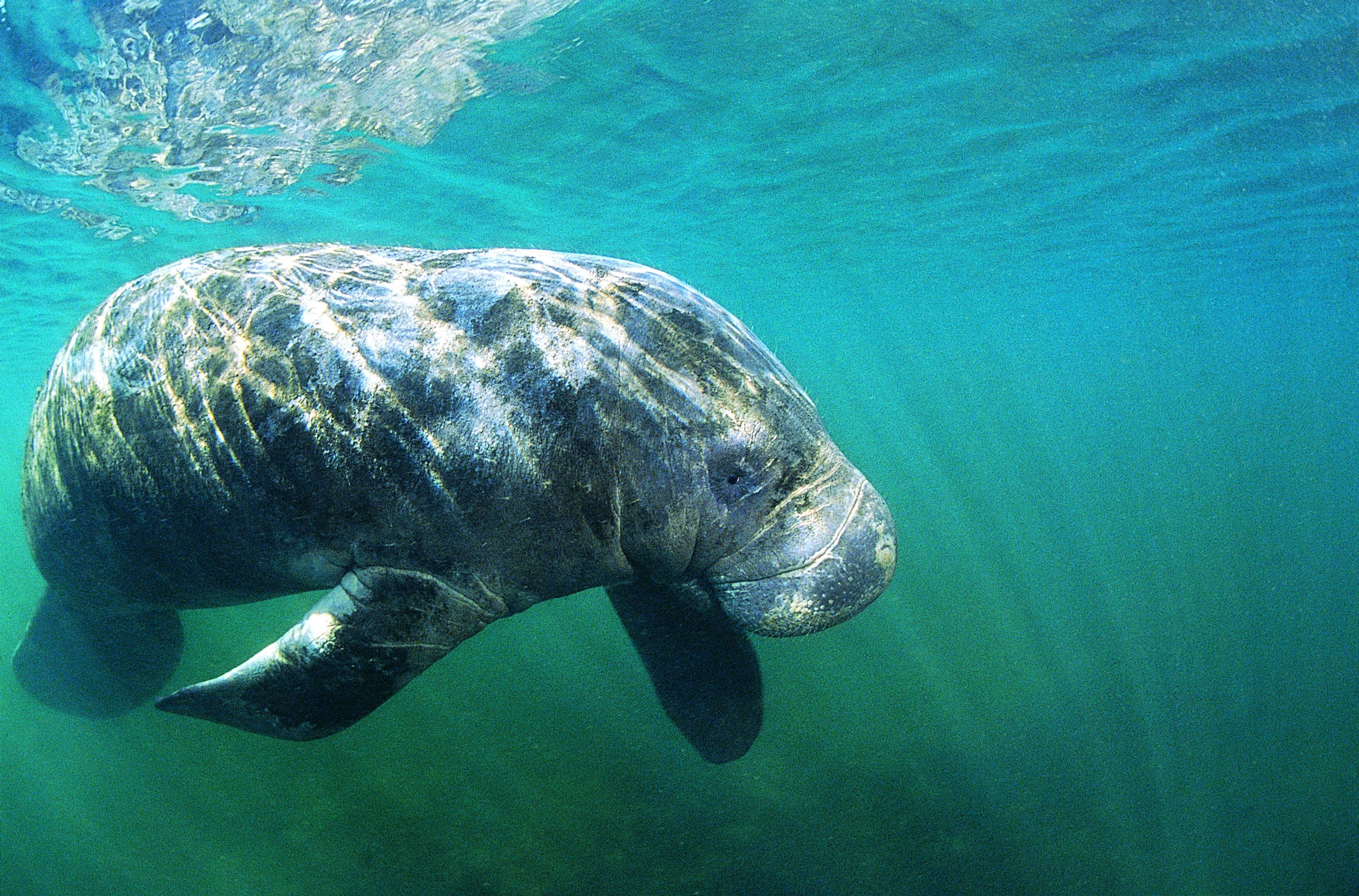 Animals wildlife manatee Mammals HD Wallpaper
