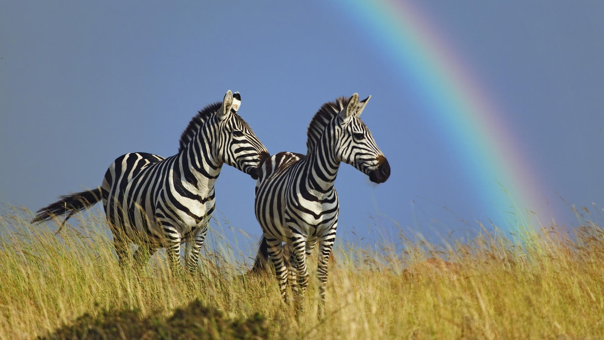 Animals wildlife rainbows zebras HD Wallpaper