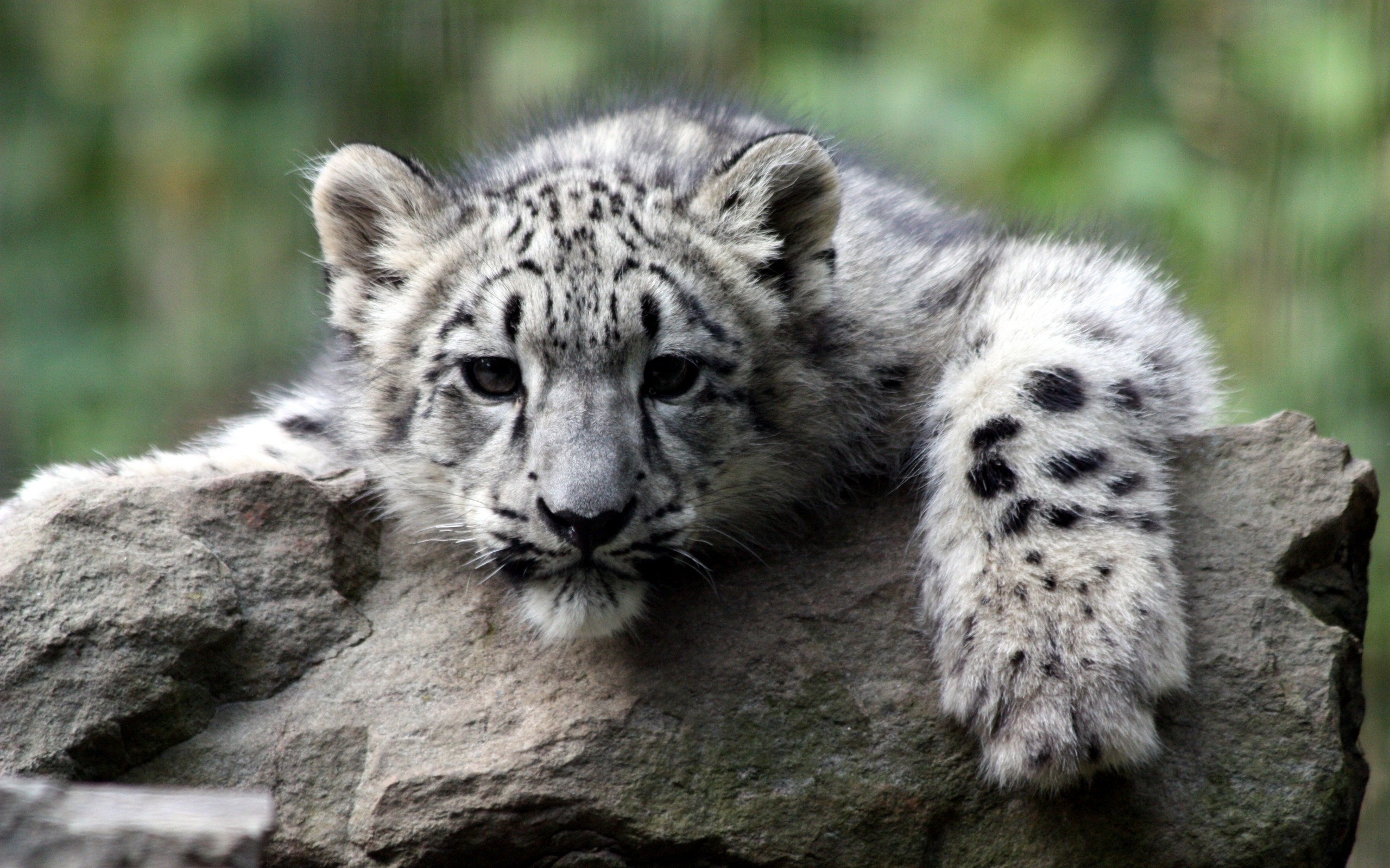Animals wildlife snow leopards HD Wallpaper