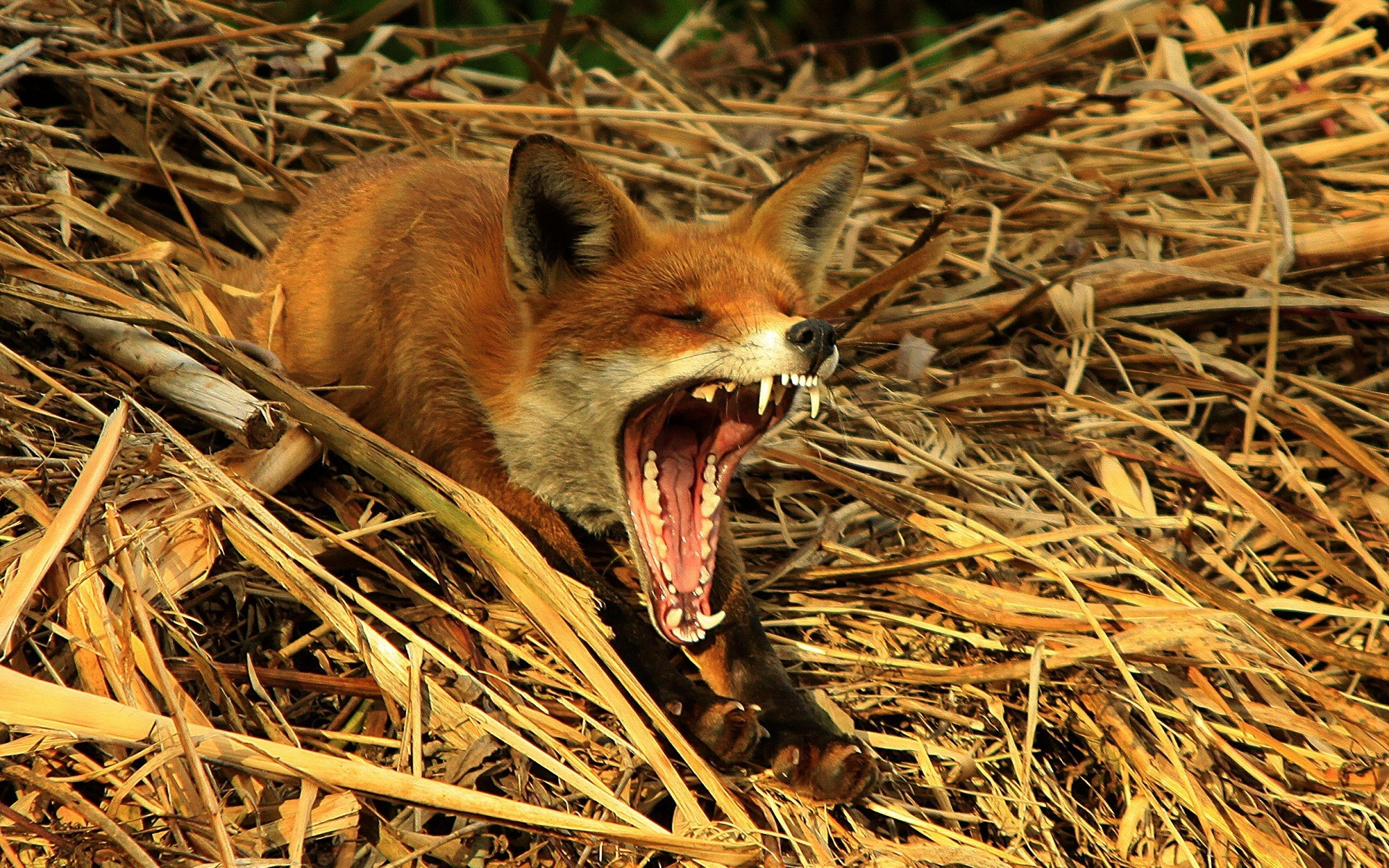 Animals wildlife yawns foxes HD Wallpaper