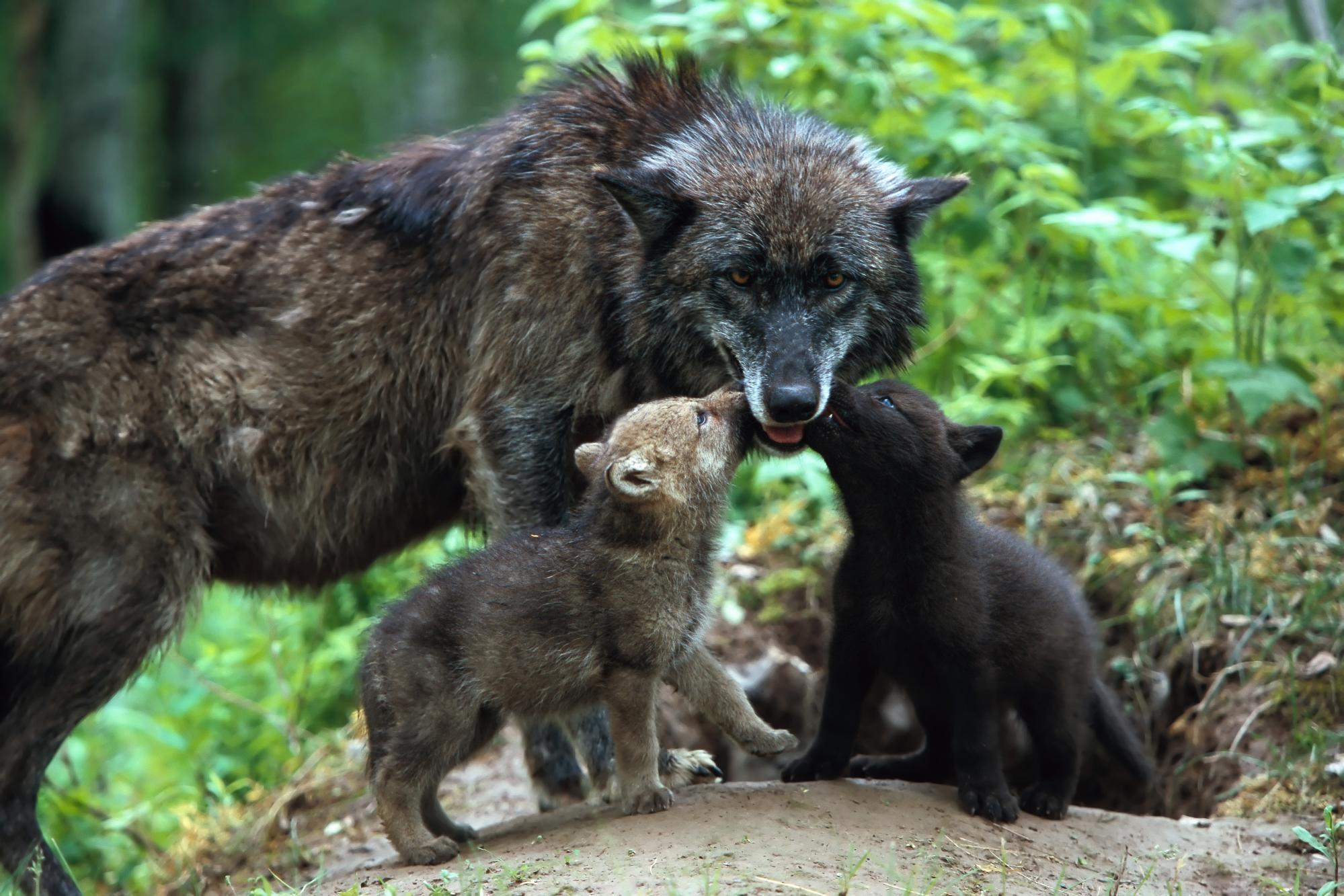 Animals Wolves HD Wallpaper