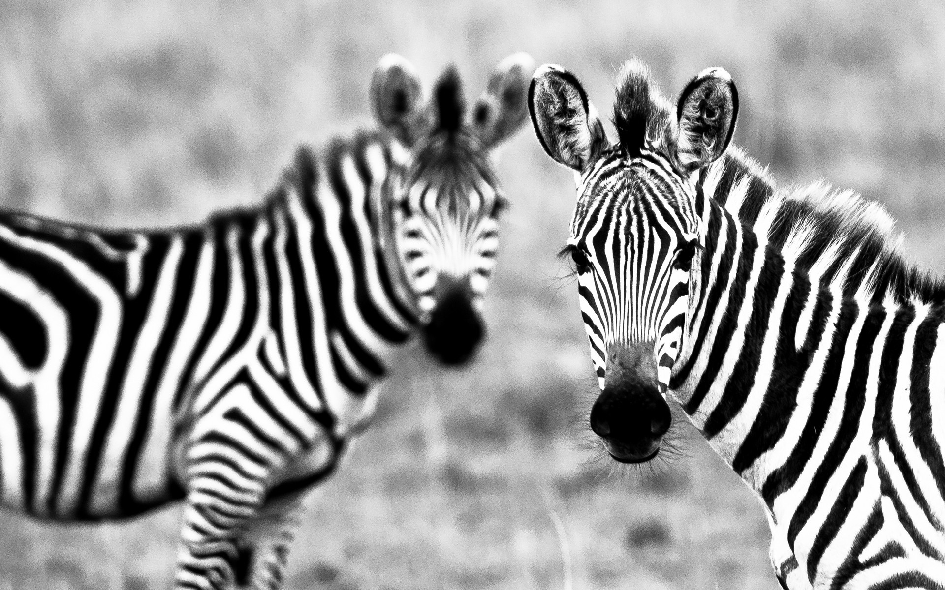 Animals zebras grayscale