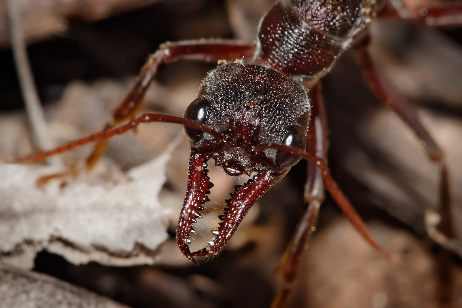 ants ant insect insects HD Wallpaper