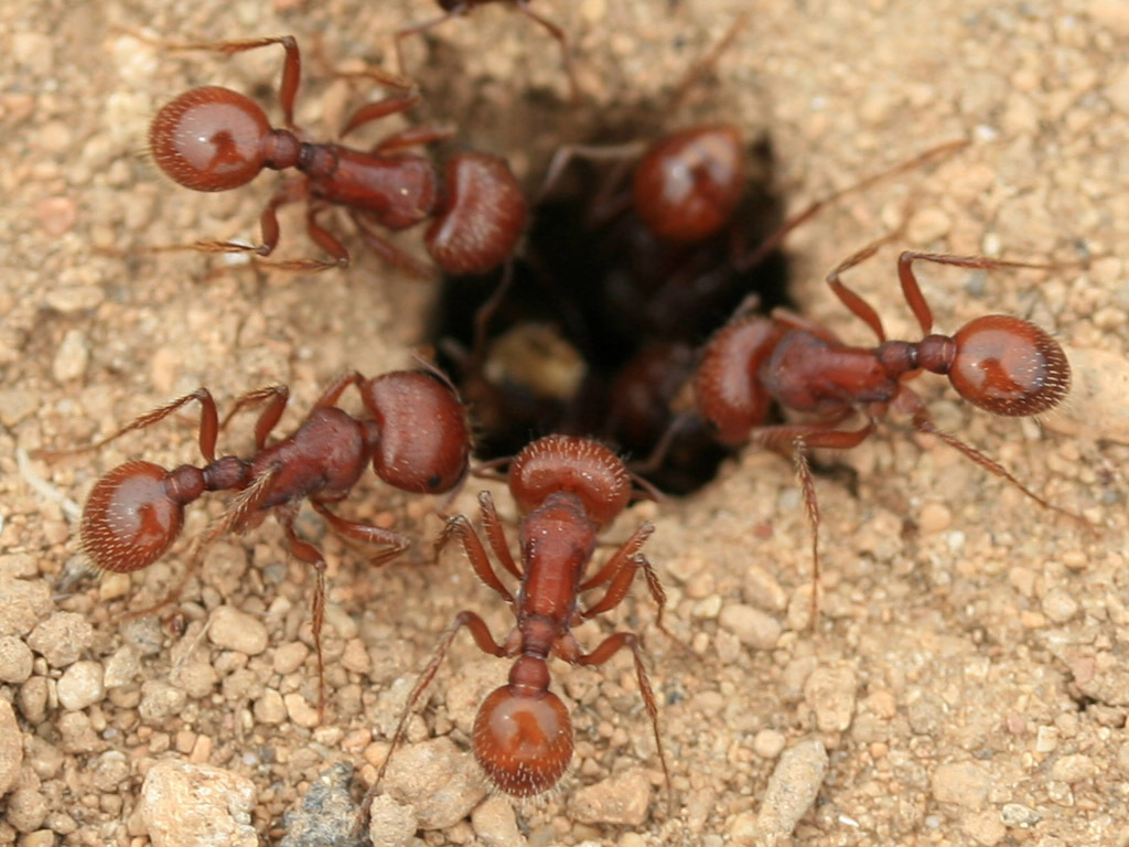 ants insect HD Wallpaper