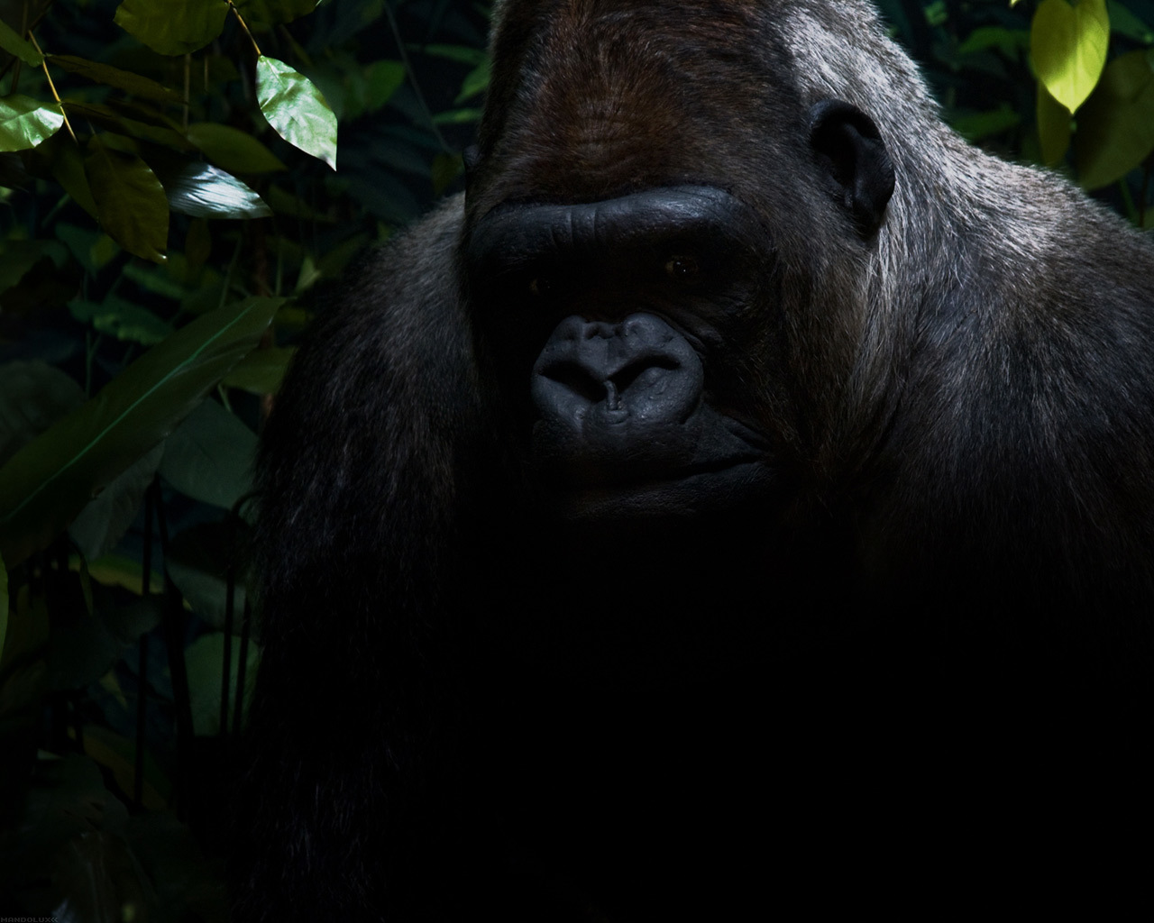 apes gorillas HD Wallpaper