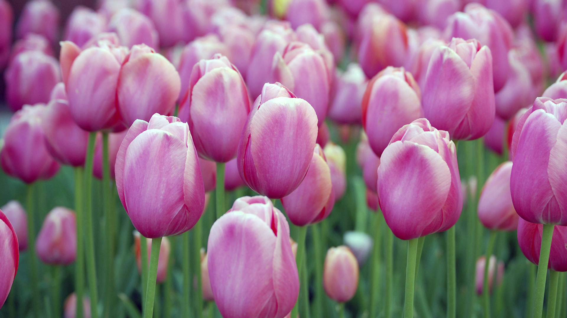 artistic tulips HD Wallpaper