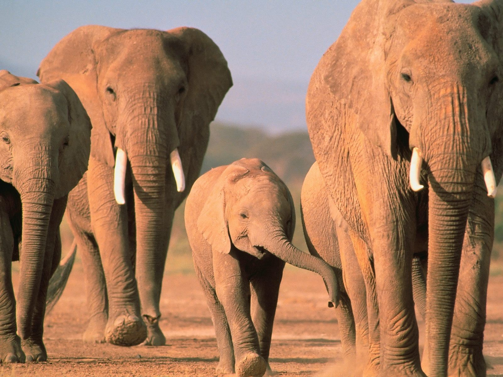 baby elephant baby animals HD Wallpaper