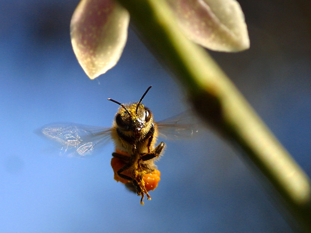 bees HD Wallpaper