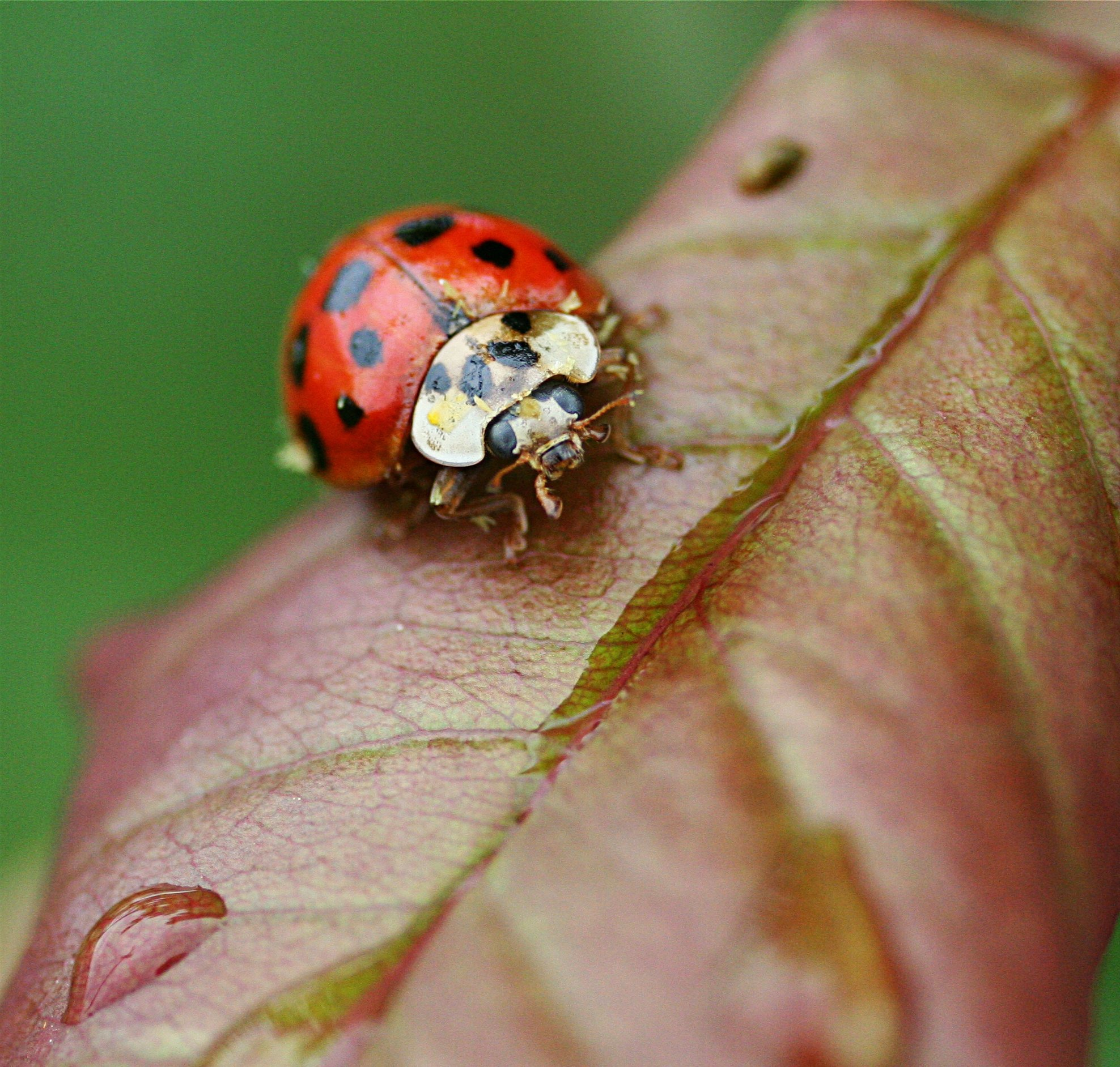 beetle ladybug insects bugs HD Wallpaper