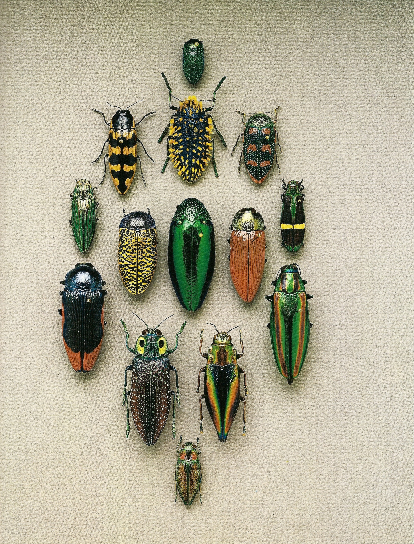 Beetles high
