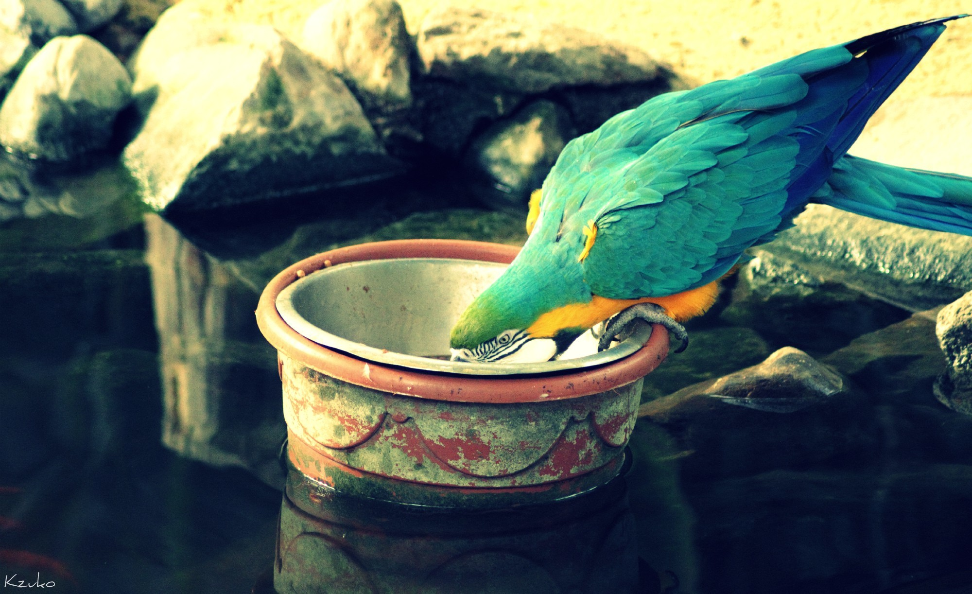 Birds Animals Parrots drinking HD Wallpaper