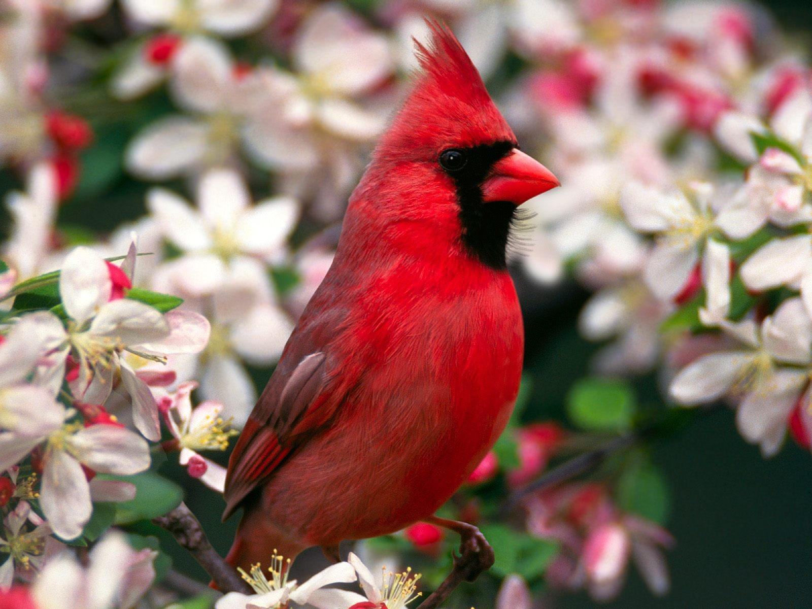 Birds cardinal Northern Cardinal HD Wallpaper