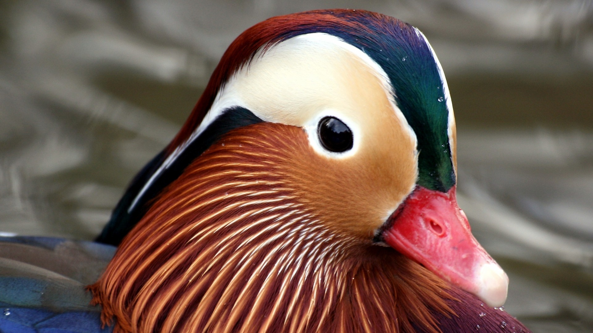 Birds Ducks macro mandarin HD Wallpaper