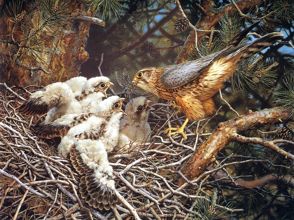 Birds falcon bird nest HD Wallpaper