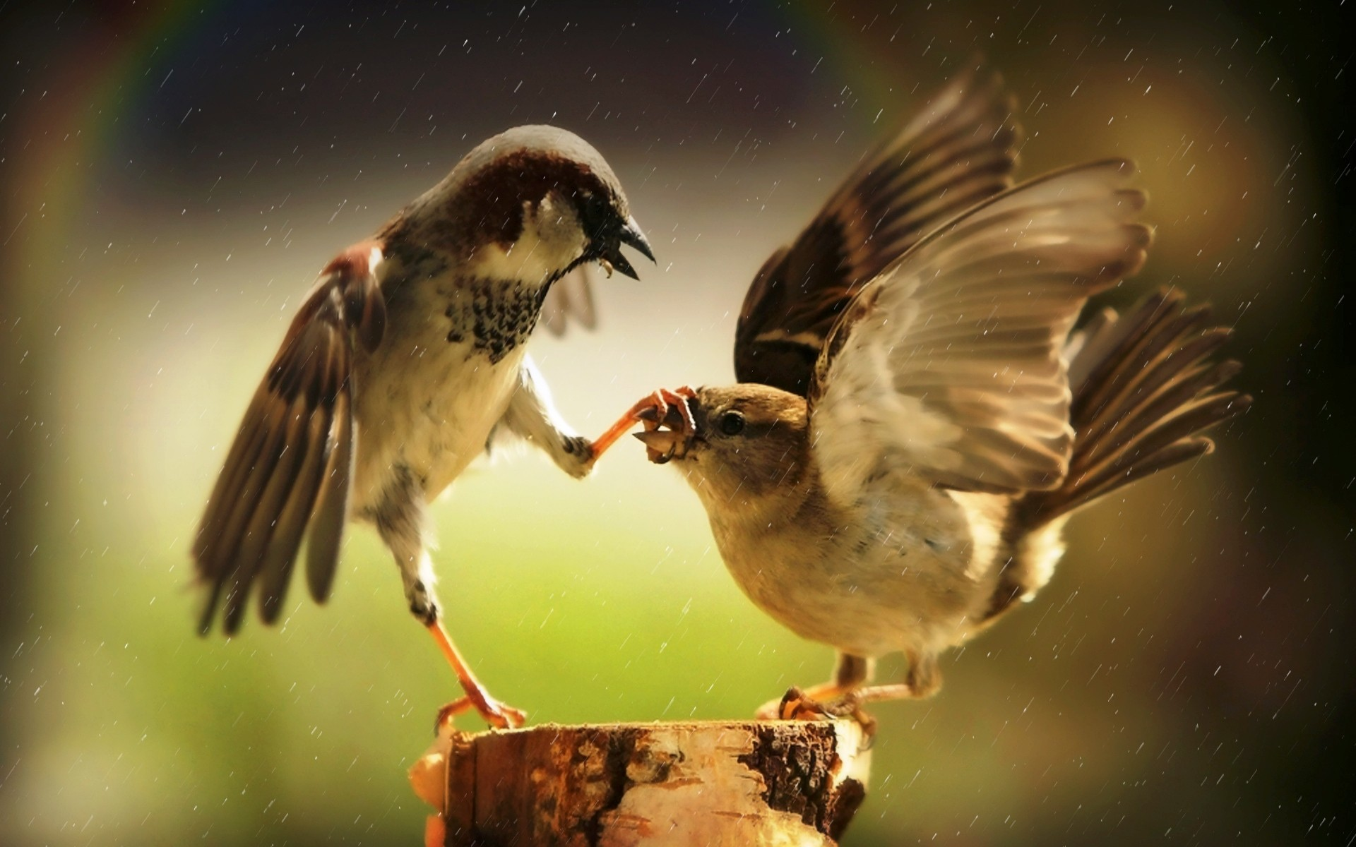 Birds Finches HD Wallpaper