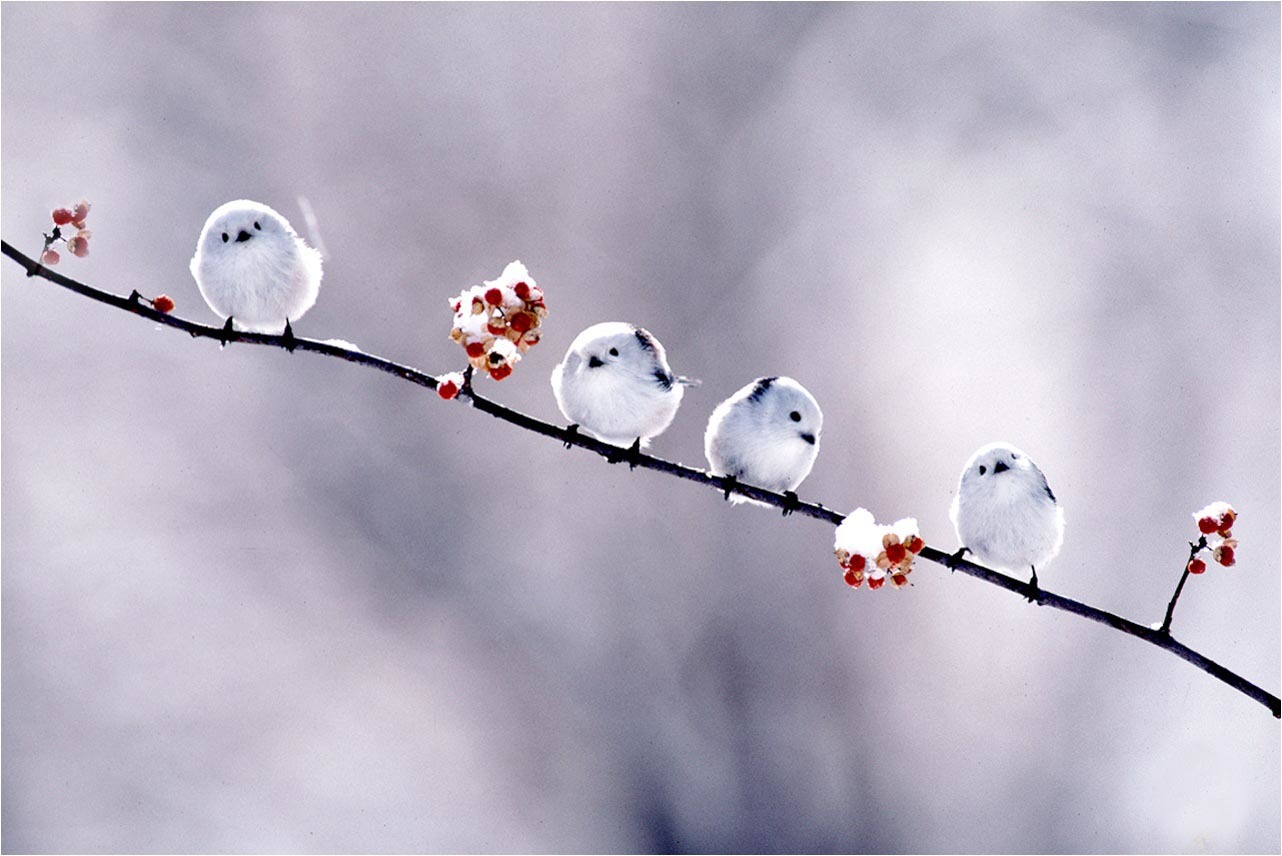 Birds fluffy Berries branches