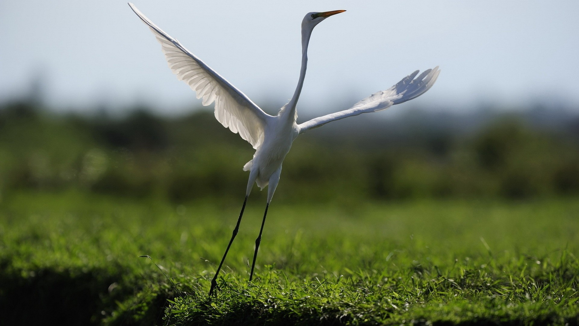Birds herons HD Wallpaper