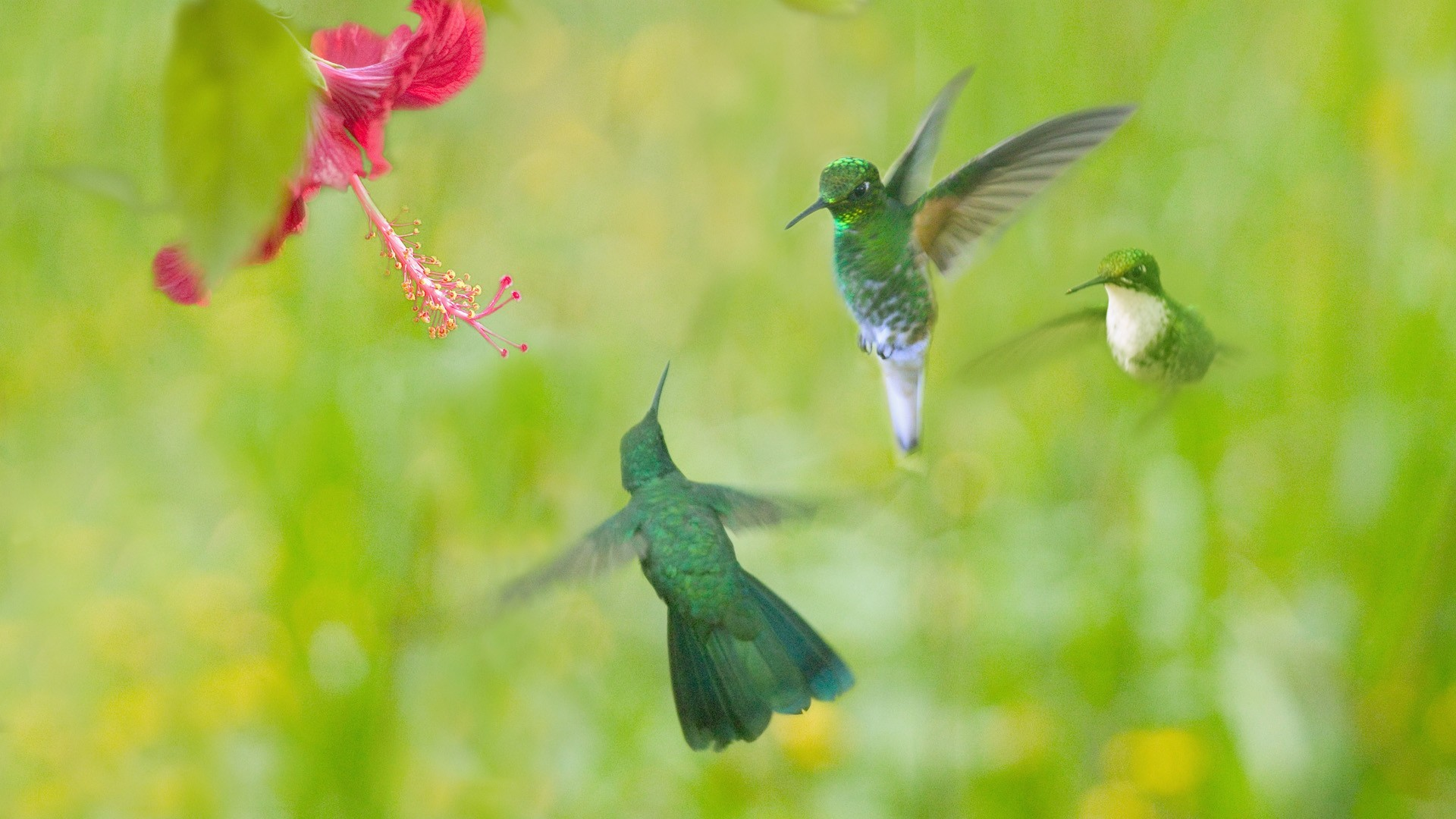 Birds hummingbirds HD Wallpaper