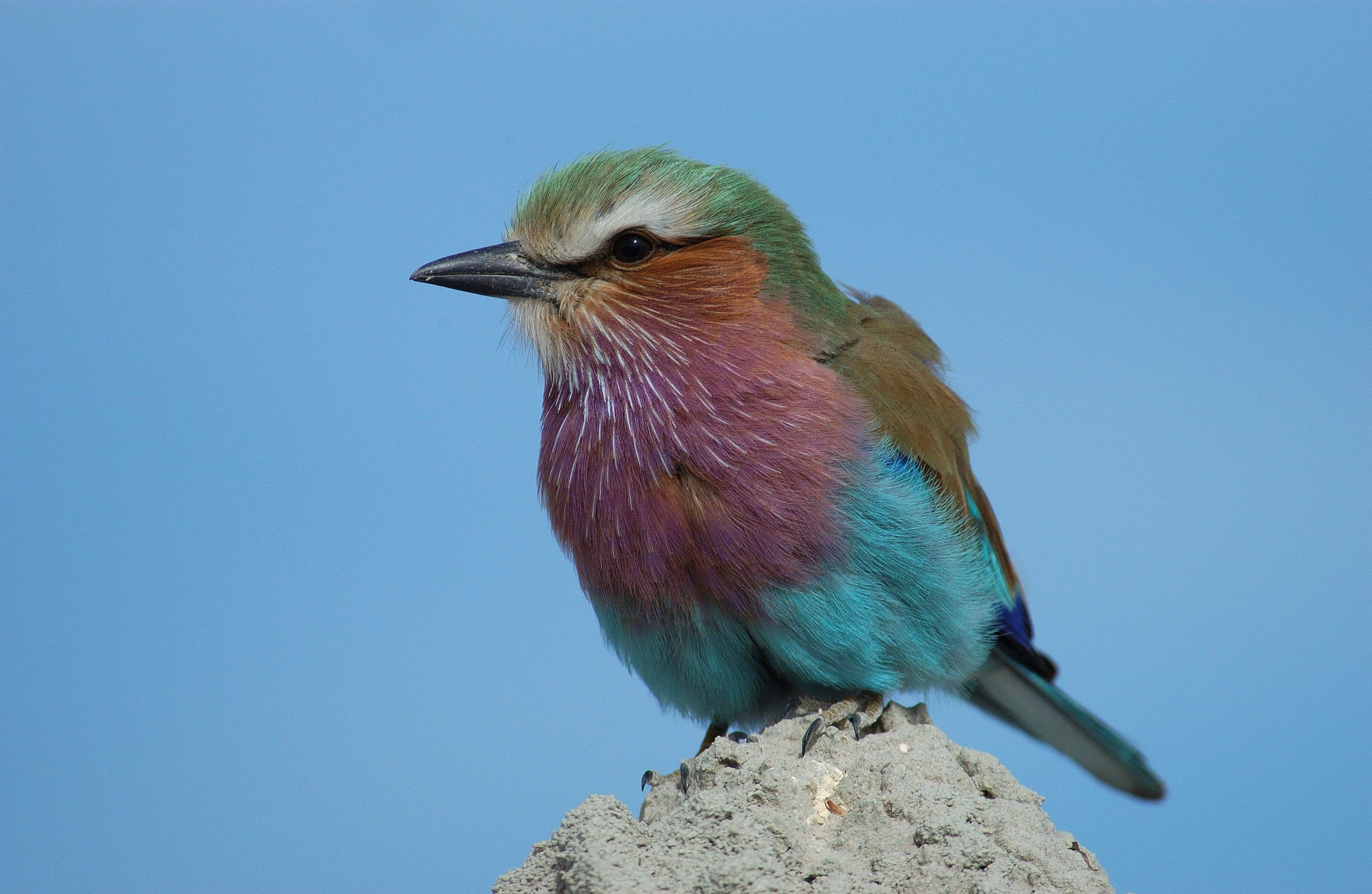 Birds Lilac-breasted Roller