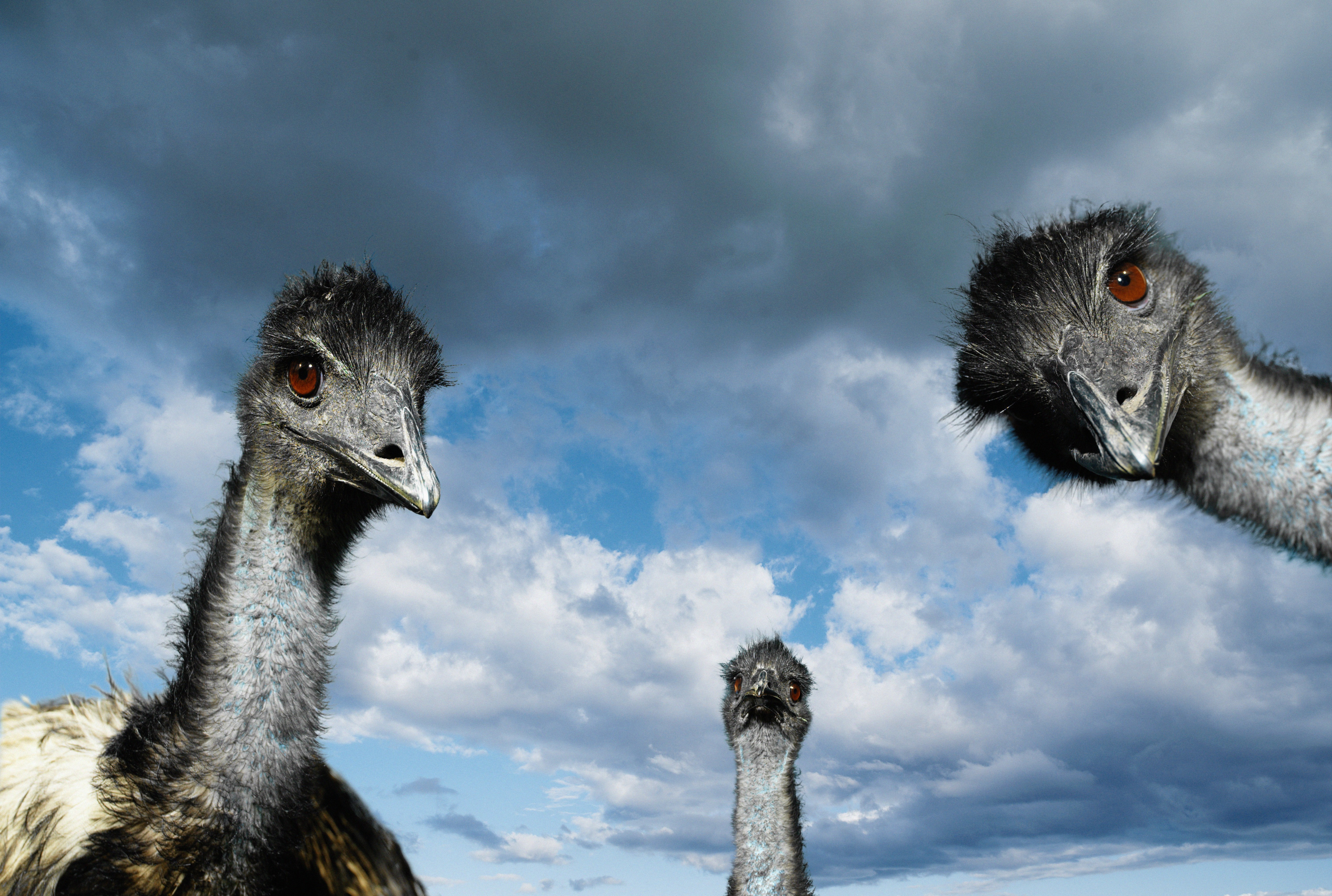 Birds ostrich HD Wallpaper