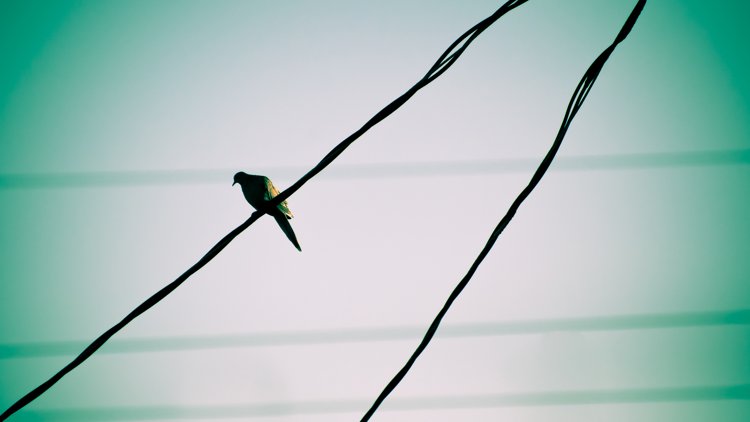 Birds Pigeons power lines HD Wallpaper