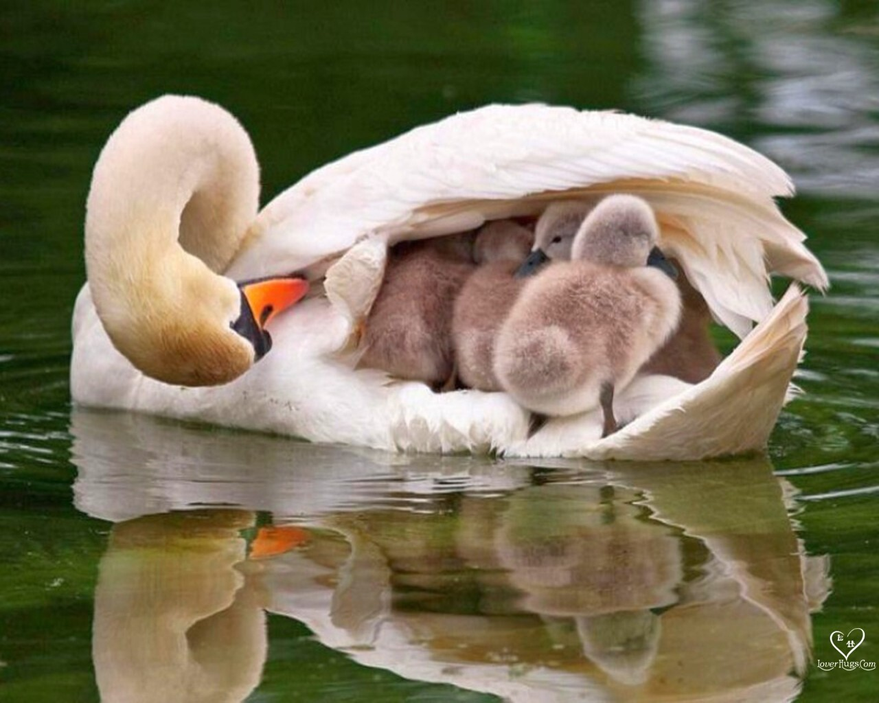 Birds Swans baby birds HD Wallpaper