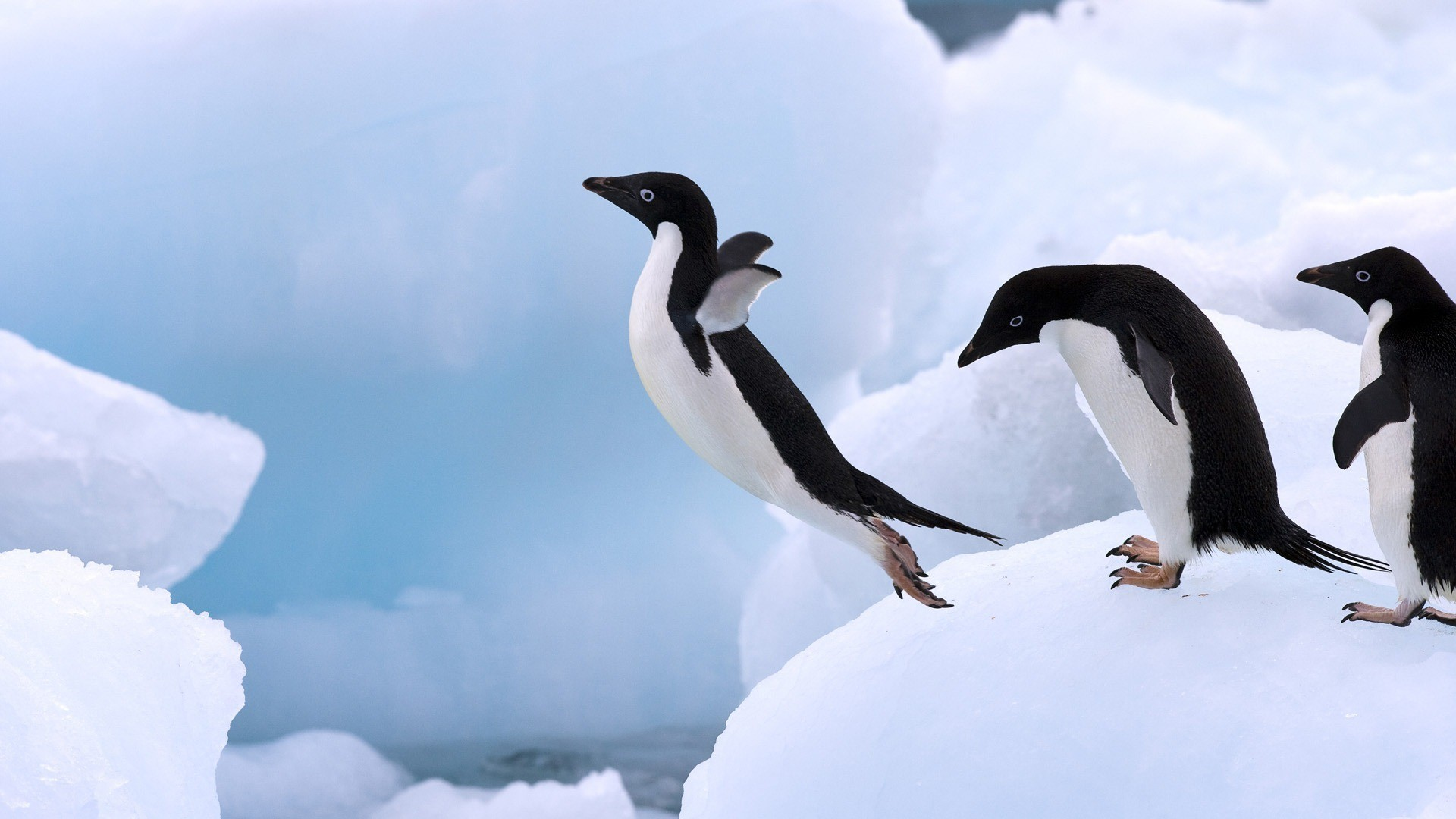 Birds wildlife jumping Penguins HD Wallpaper