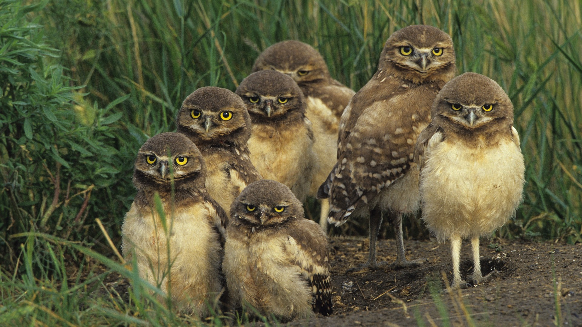 Birds wildlife Owls baby HD Wallpaper
