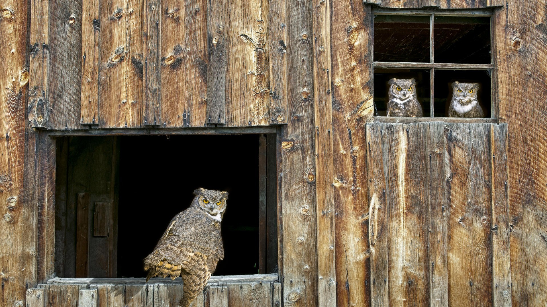 Birds window Owls barn HD Wallpaper