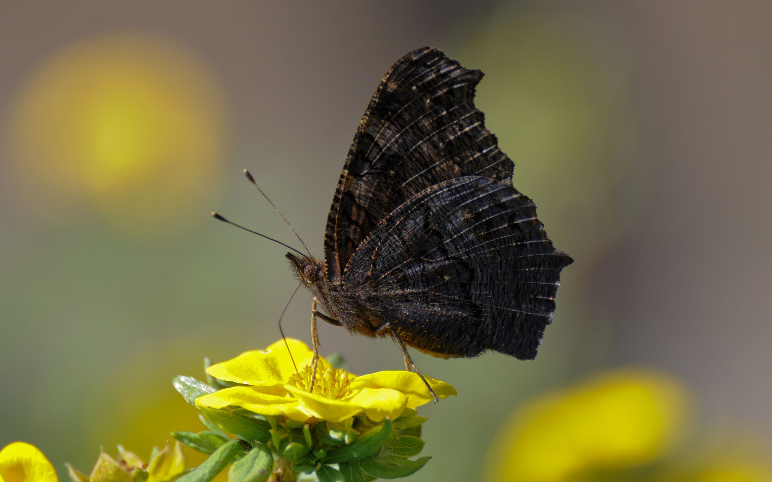 black Butterflies HD Wallpaper