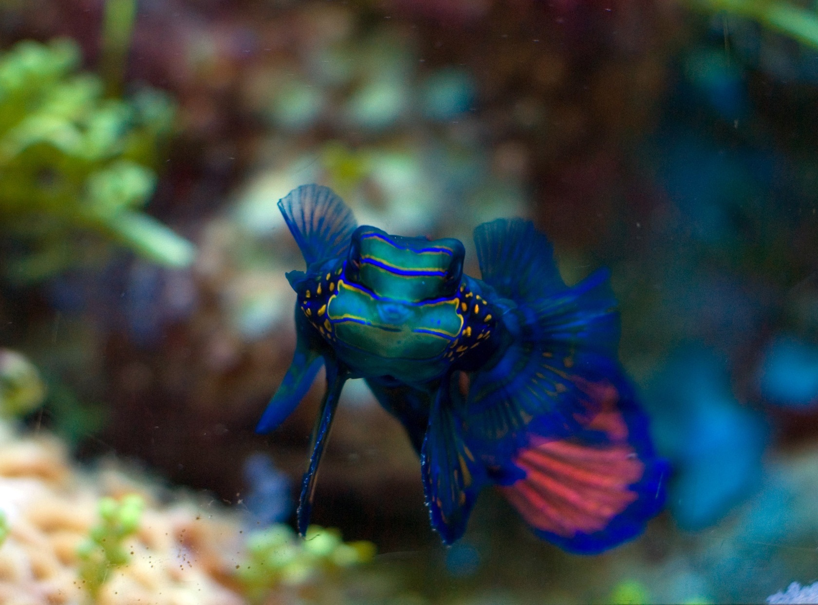 blue fish mandarinfish