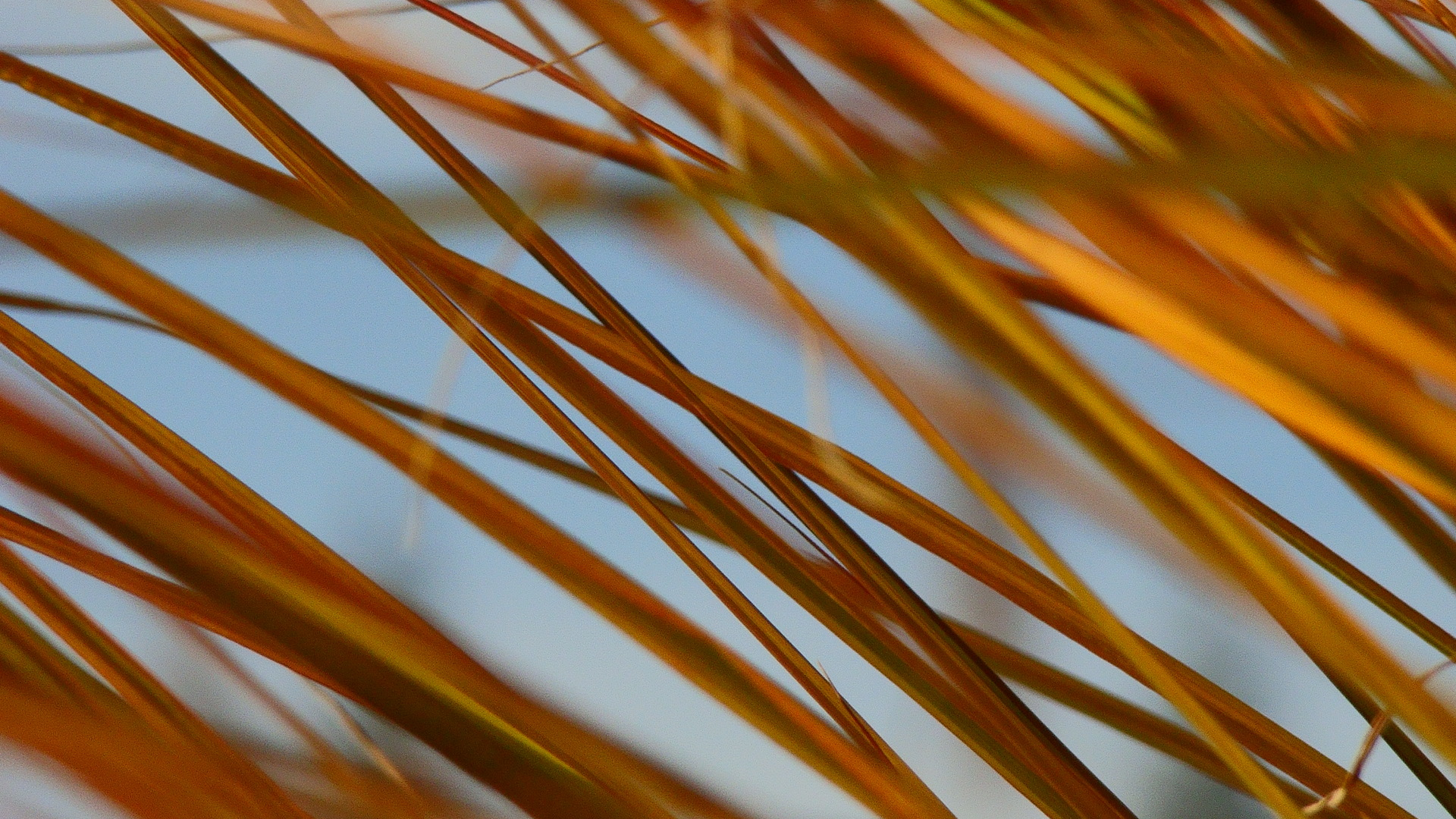 brown Razor grass by
