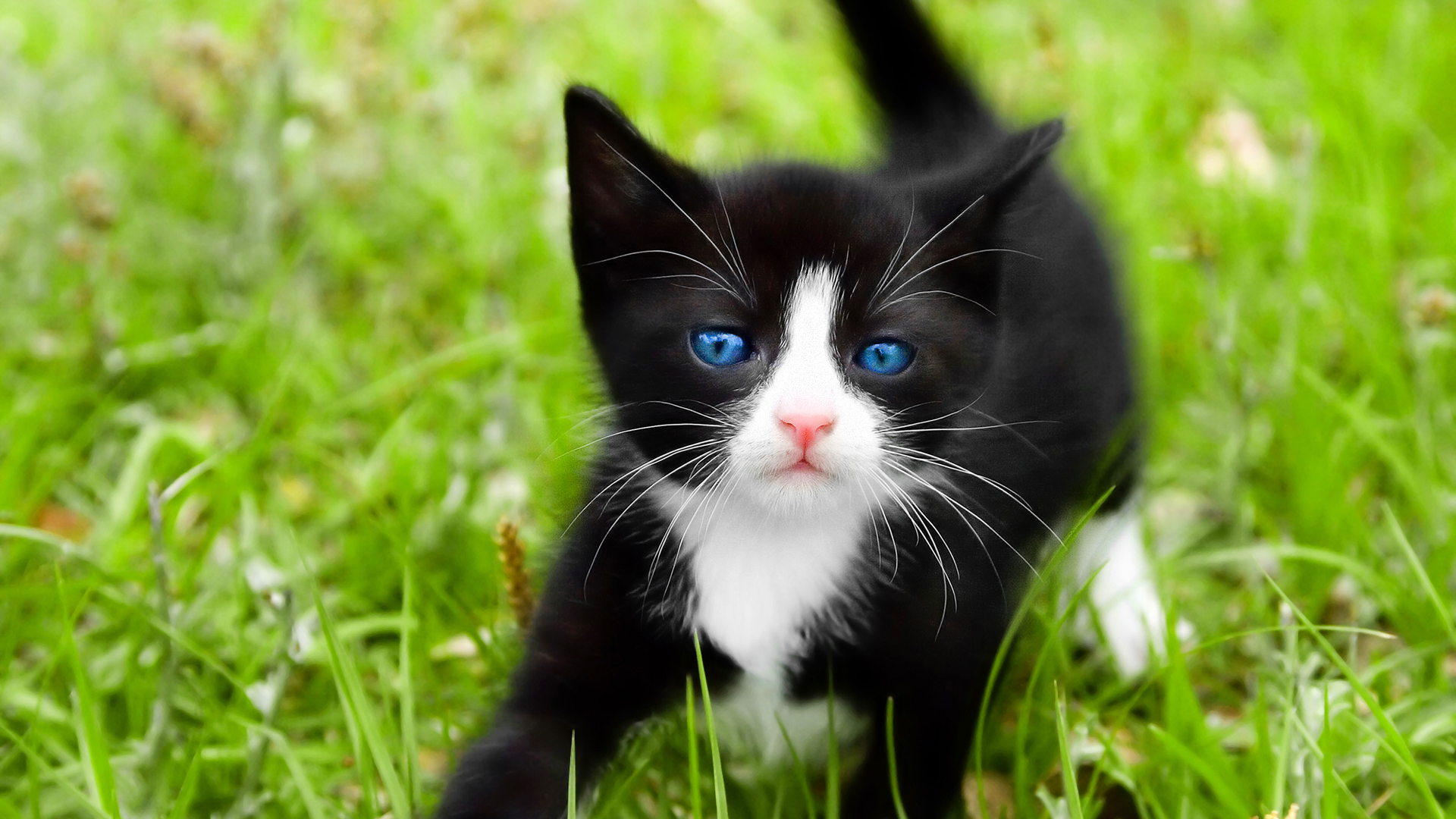 cats blue eyes Animals