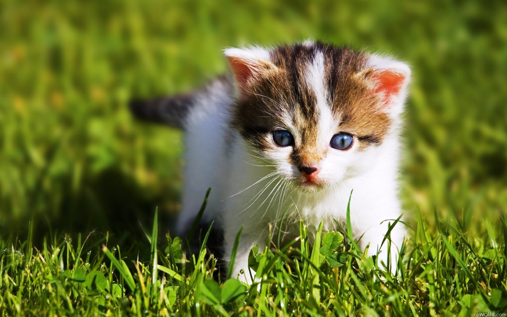 cats blue eyes Animals HD Wallpaper