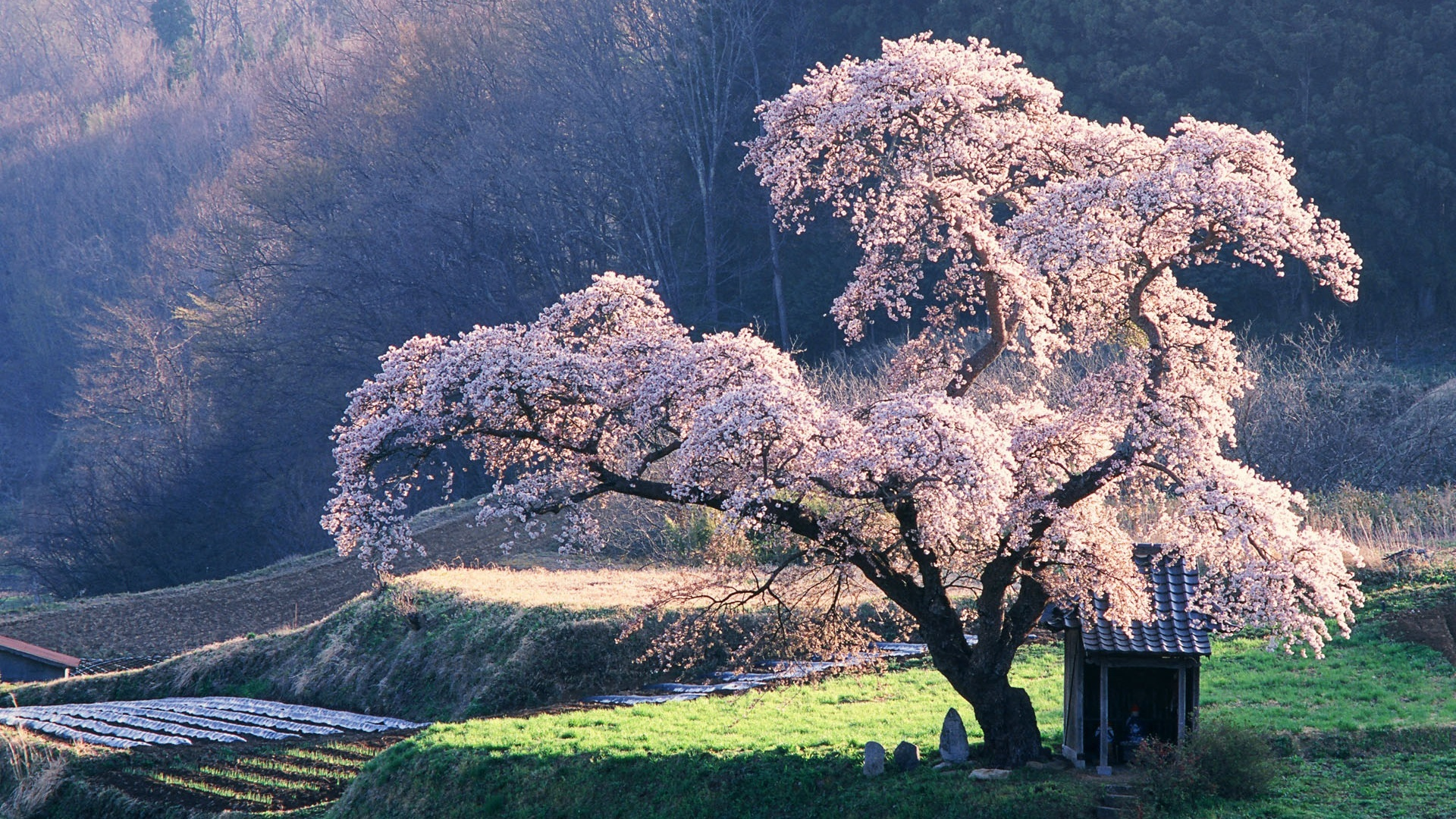 cherry blossoms Trees HD Wallpaper
