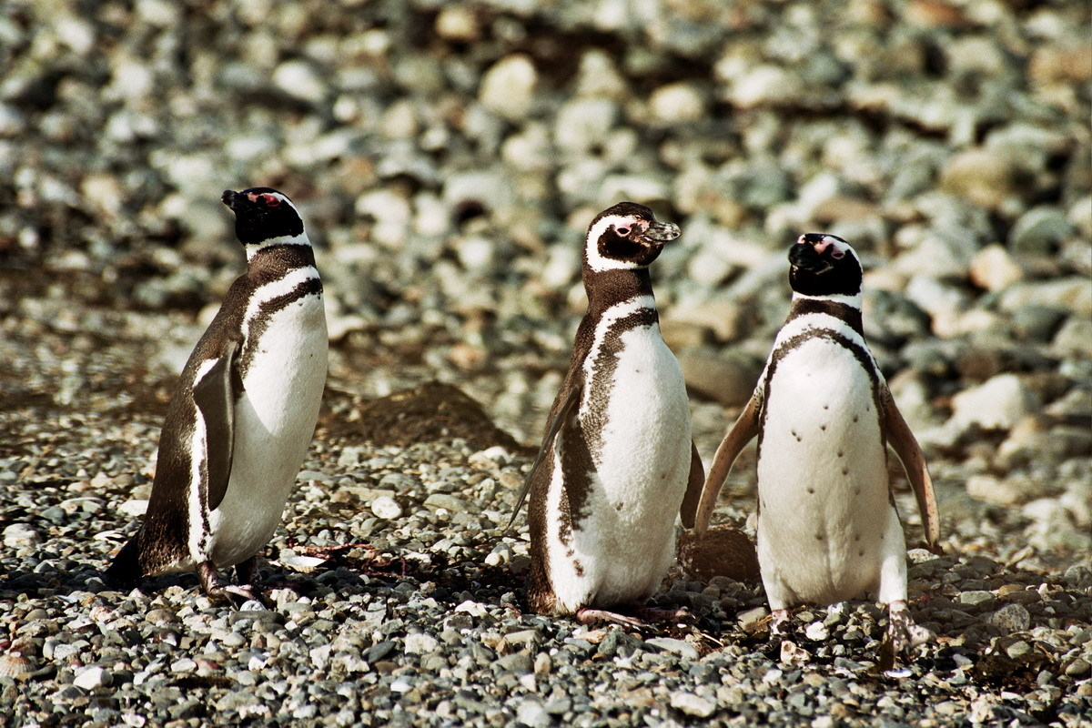chile patagonia Penguins animal HD Wallpaper