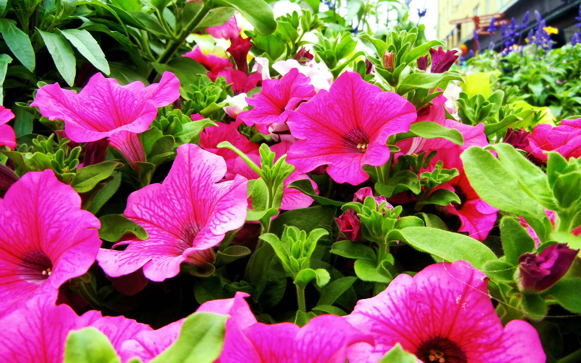 cityscapes Flowers pink flower HD Wallpaper