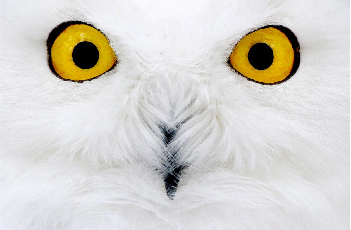 close-up Birds Owls HD Wallpaper