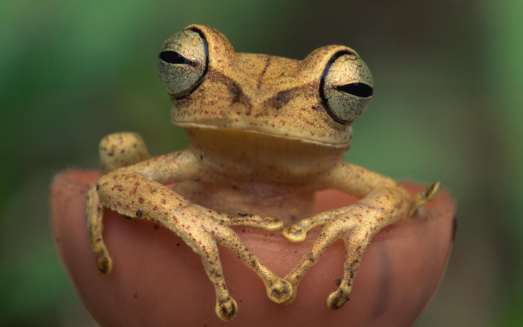 close-up Frogs amphibians HD Wallpaper