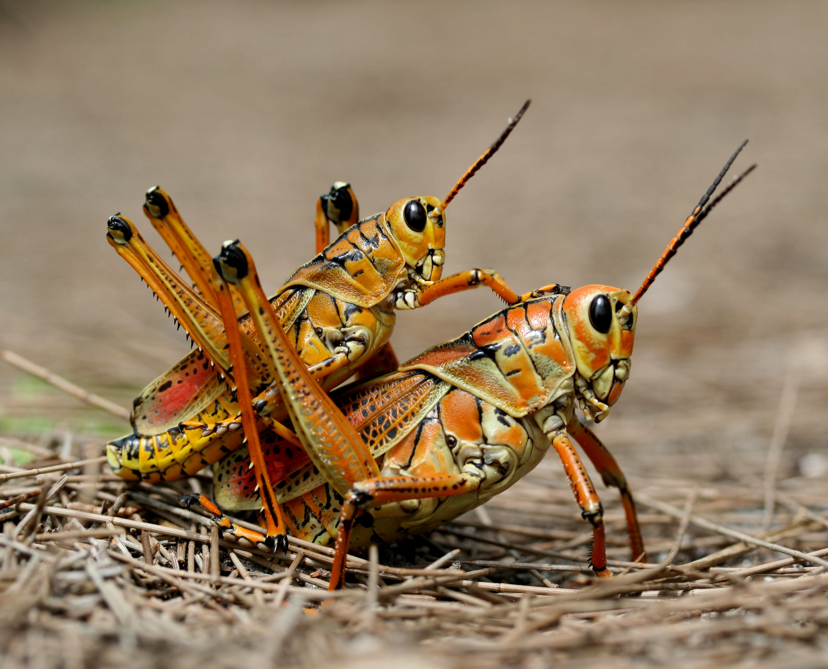 close-up nature bugs grasshopper HD Wallpaper