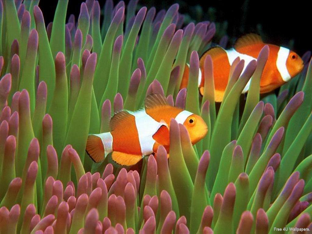 clownfish HD Wallpaper