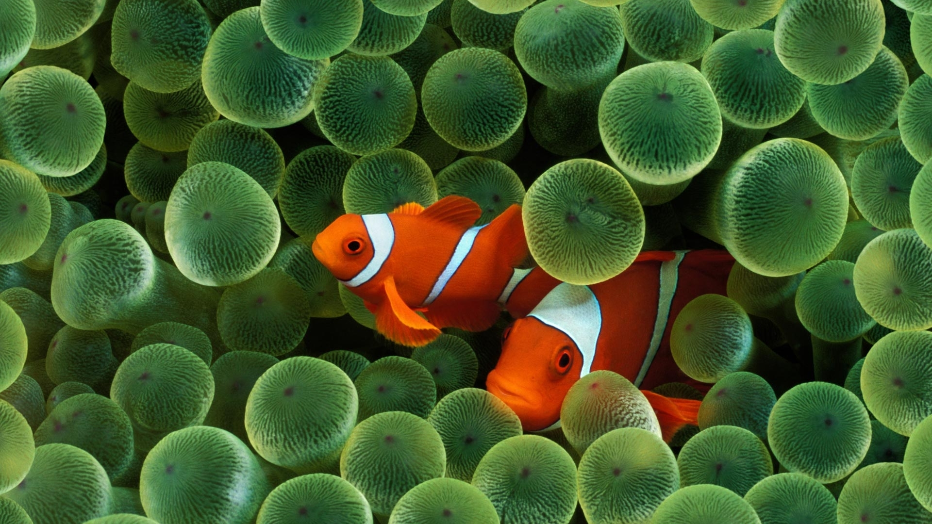 clownfish sea anemones HD Wallpaper
