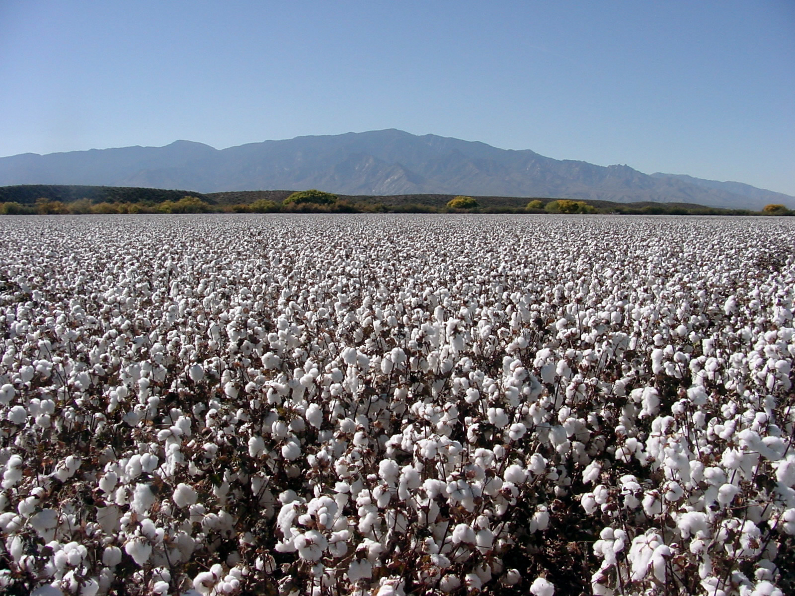 cotton farming in fields HD Wallpaper