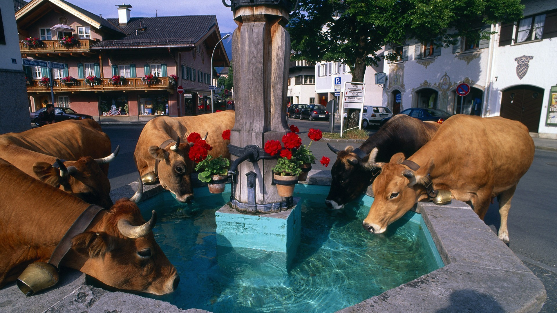 Cows fountain HD Wallpaper