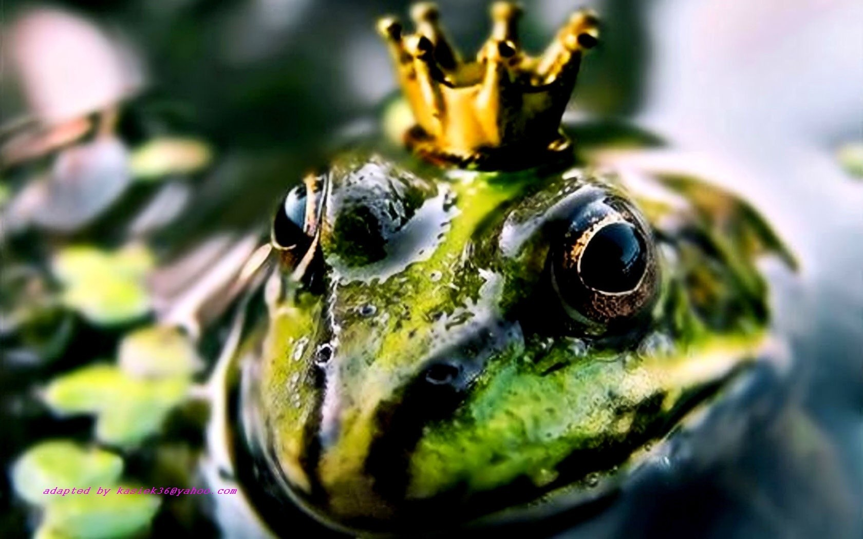crowns amphibians Toads HD Wallpaper