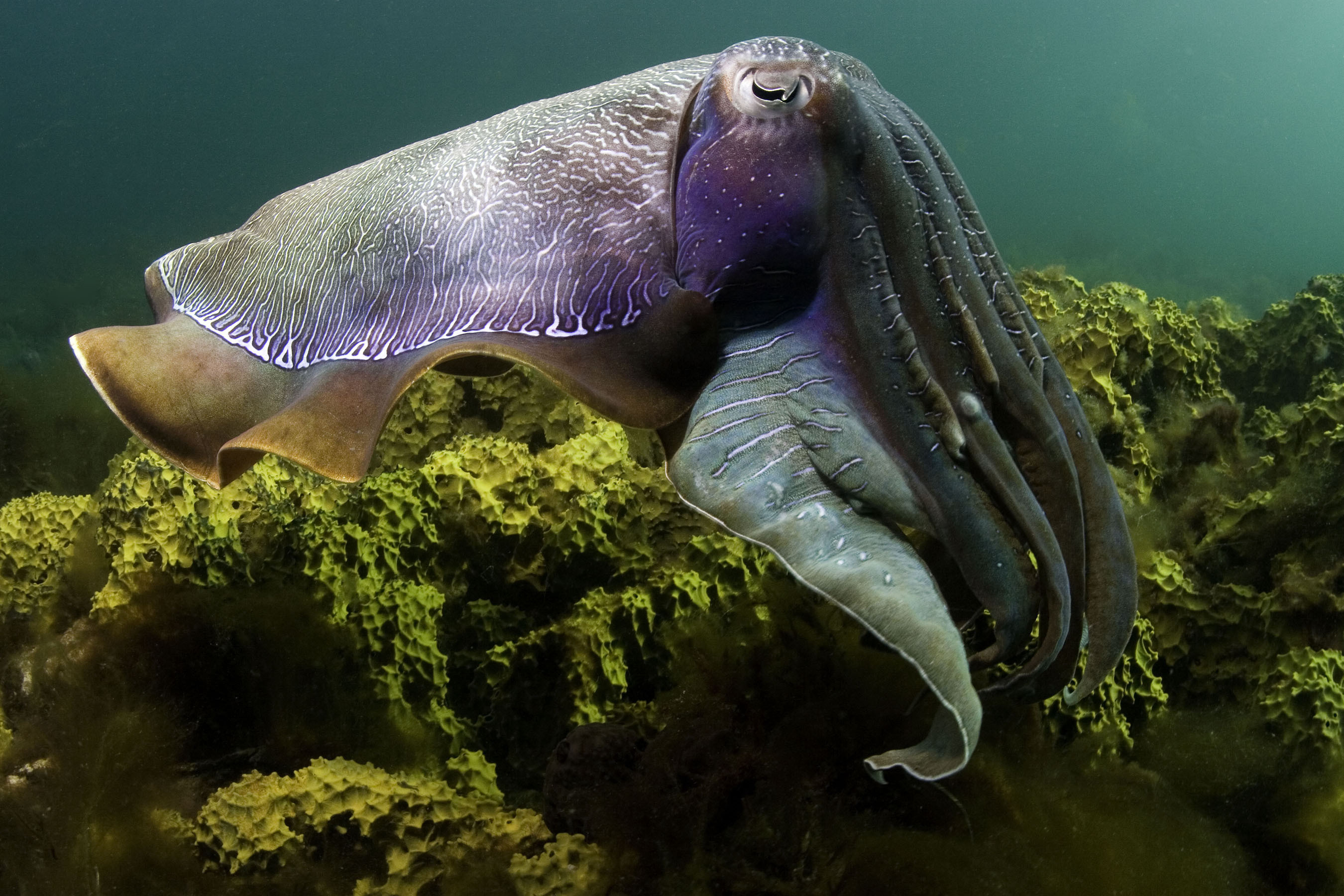 cuttlefish underwater sealife Animals