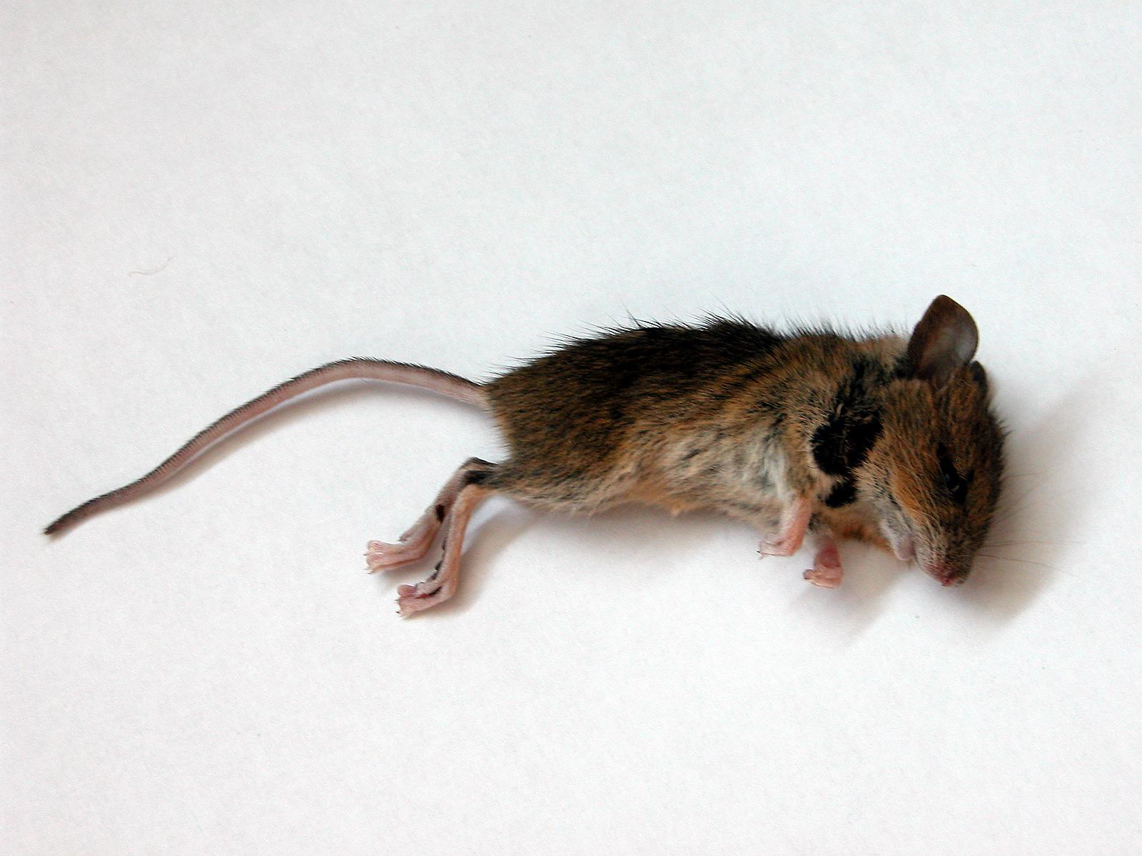 dead fucking mouse ded HD Wallpaper