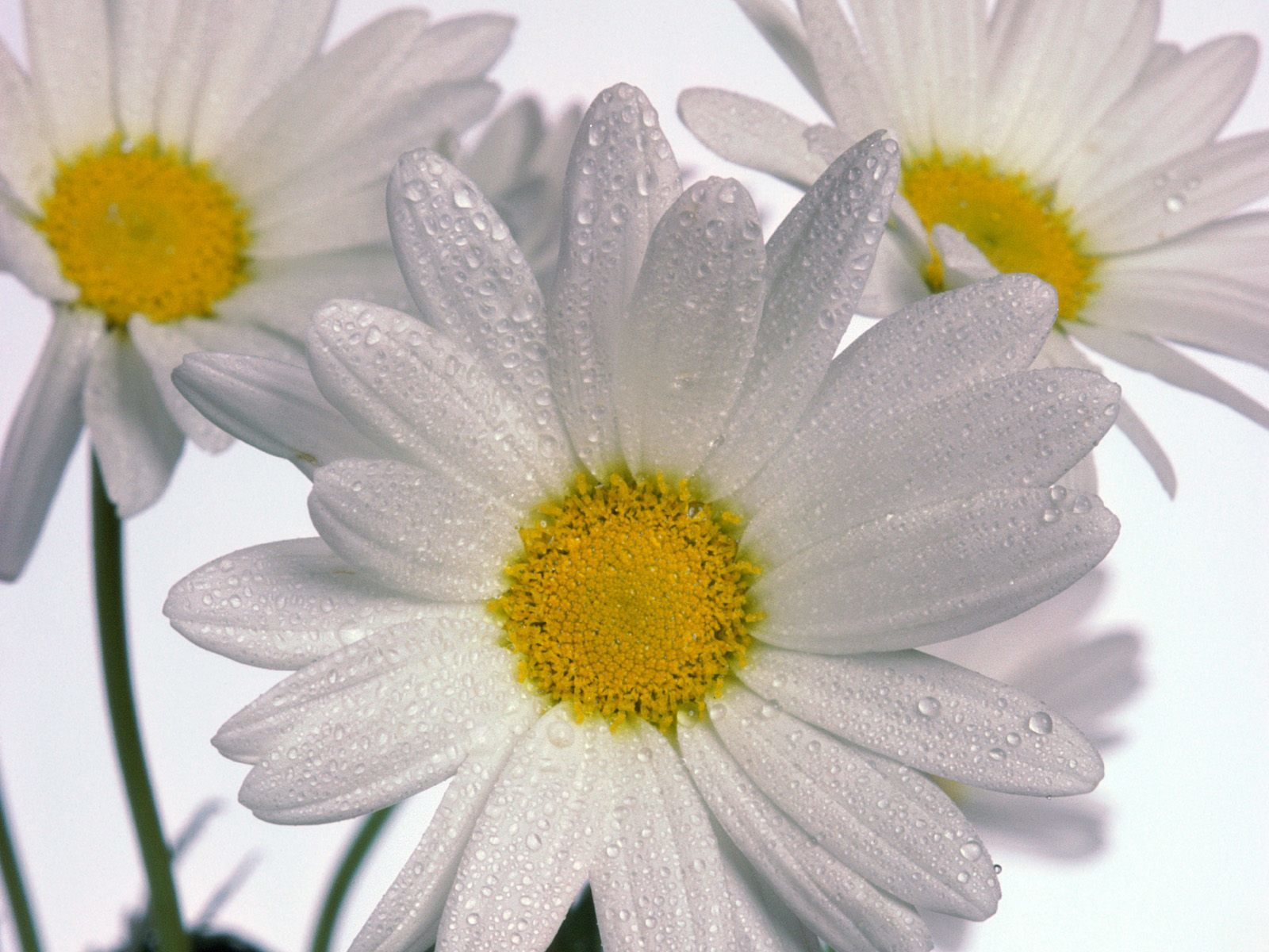 delicate Daisies HD Wallpaper