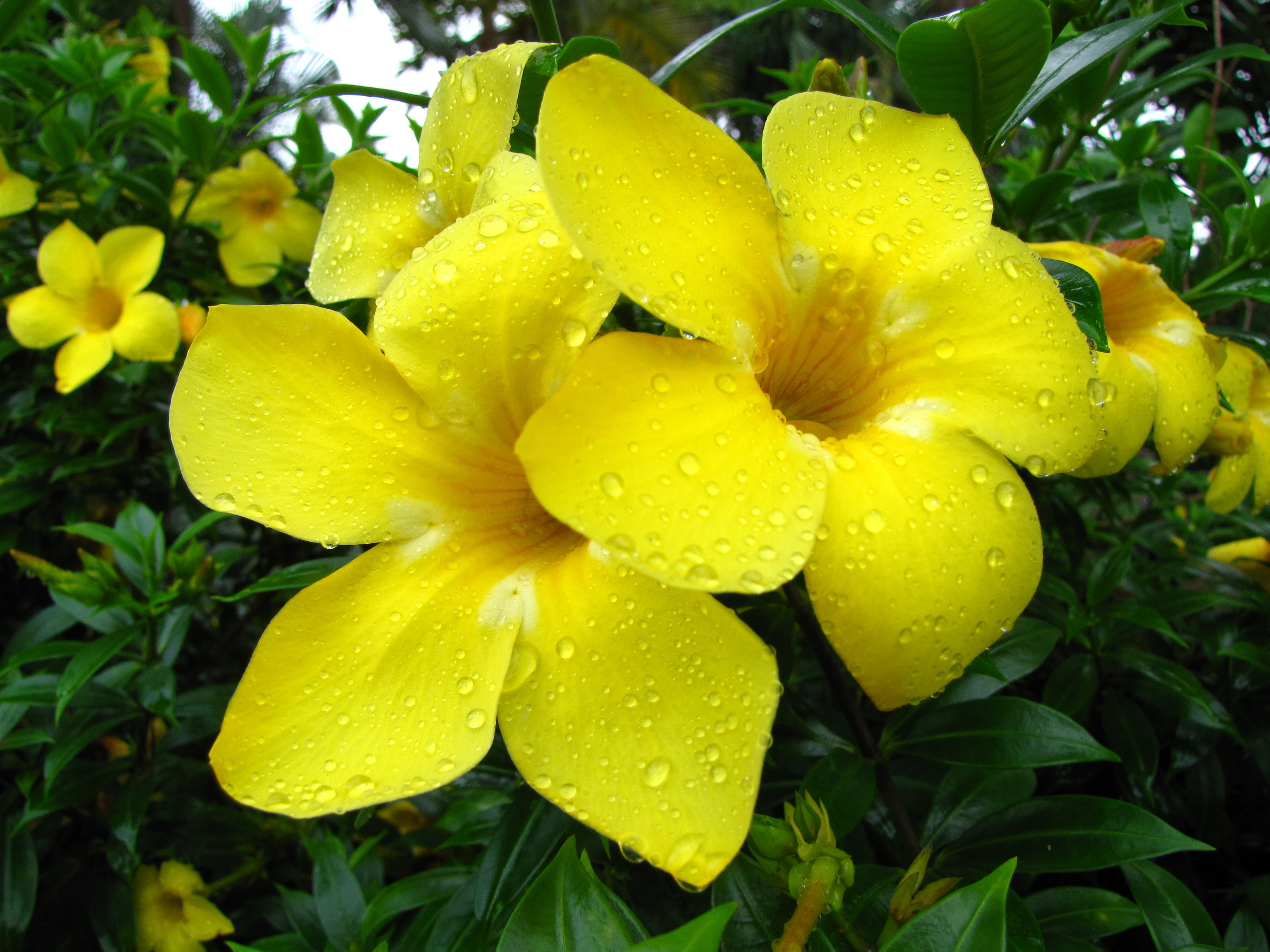 dew yellow Flowers flower HD Wallpaper