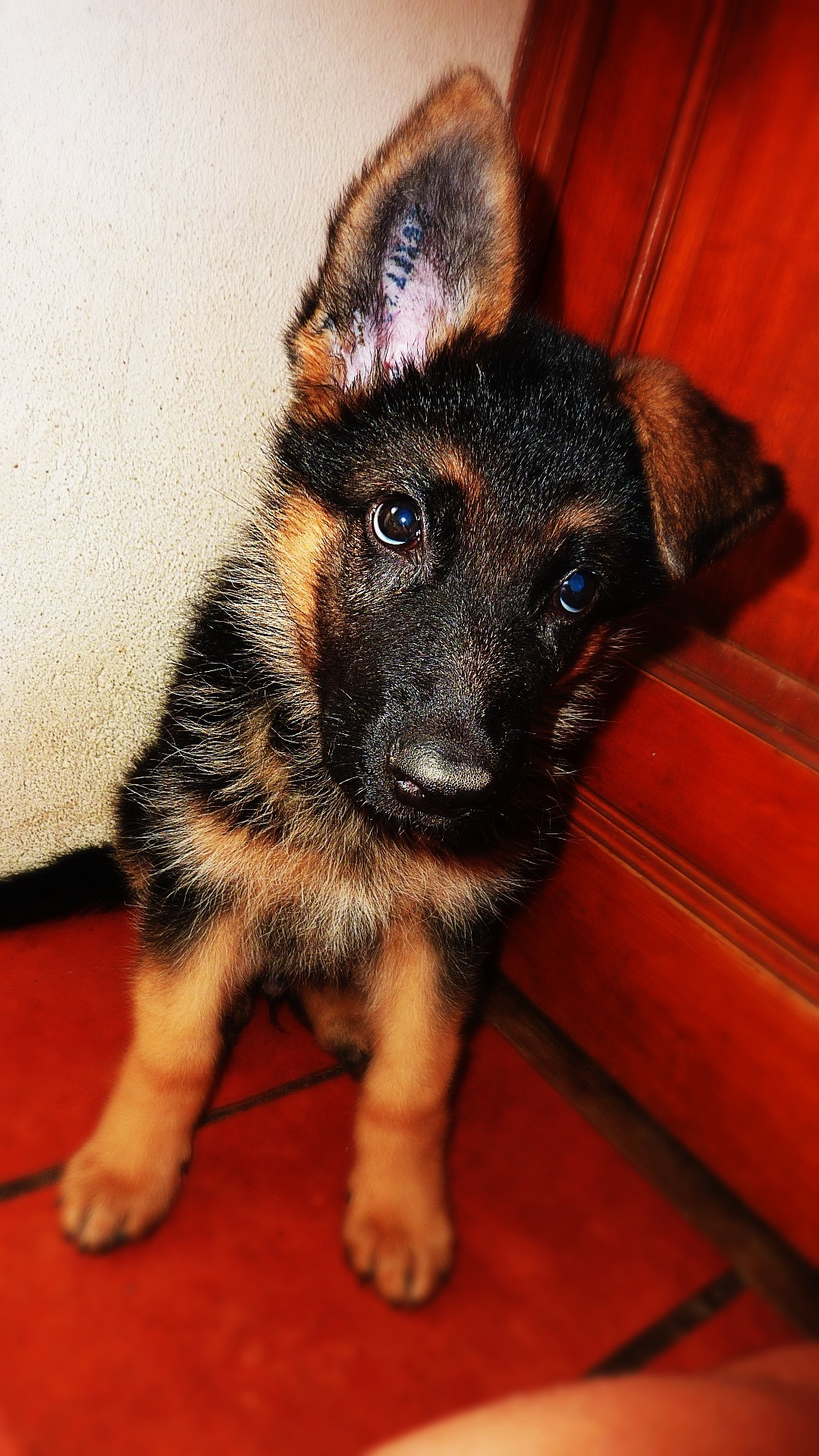 Dogs Puppies German shepherd HD Wallpaper